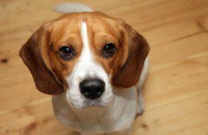 Стерилизованная собака более спокойная и уравновешенная